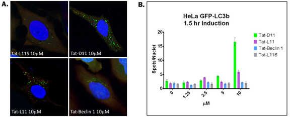 Tat-D11 and Tat-L11 are more potent autophagy inducersthan Tat-Beclin 1. HeLa GFP-LC3B were treated with Tat-D11, Tat-L11, Tat-L11Sor Tat-Beclin for 1.5 hrs, and (A) the number of autophagosomes were assessedby fluorescent microscopy and (B) the number of GFP+/ LC3B+ spots werequantified